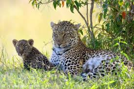 leopard family