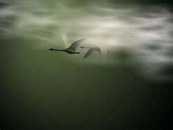 swans at night
